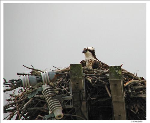 osprey by ~Stingrays~