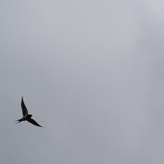Swallow silouetted dancing on air