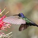 Beija-flor Tesoura (Eupetomena macroura) - Swallow-tailed Hummingbird 32 033 - 10