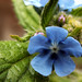 Small photo of Green Alkanet