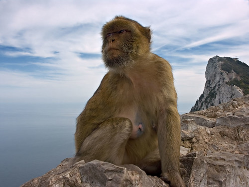 Ape of Gibraltar