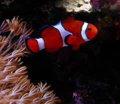 coral reef, animal, anemone fish, coral, fish, coral reef fish, marine biology, underwater, reef, sea anemone, aquarium,