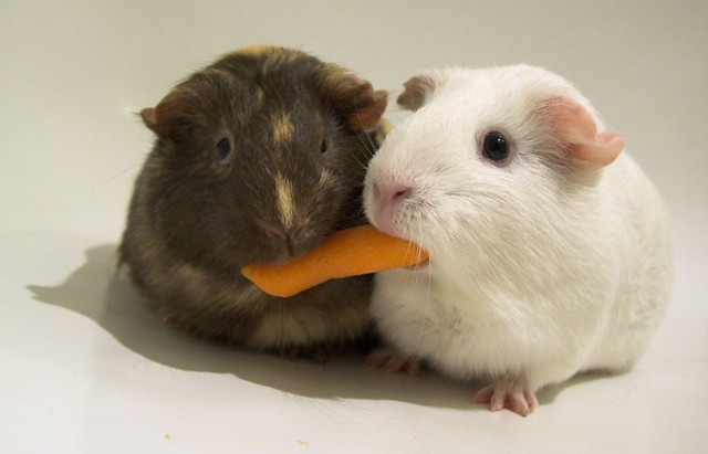 Food Guinea Pigs Cannot Eat