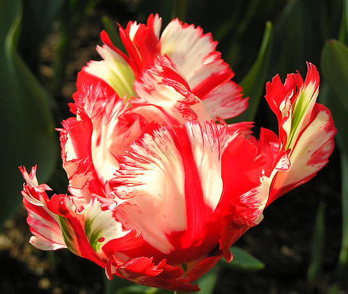 Tulip multicoloured