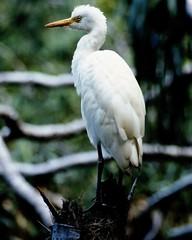 animal, wing, fauna, ciconiiformes, great egret, heron, beak, bird, wildlife,