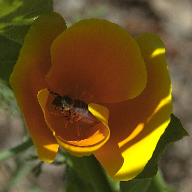 A bee in a bonnet