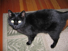 animal, small to medium-sized cats, pet, black cat, bombay, cat, carnivoran, whiskers, black, domestic short-haired cat,