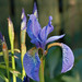 Siberian Iris - Photo (c) Facing North East, some rights reserved (CC BY-NC-SA)