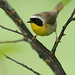 Common Yellowthroat by Michael Woodruff