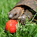 Mmm....Strawberries! My Second Favourite After Buttercups! by Roantrum
