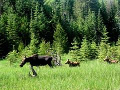cattle-like mammal(0.0), cattle(0.0), woodland(1.0), grass(1.0), tree(1.0), moose(1.0), grazing(1.0), fauna(1.0), forest(1.0), natural environment(1.0), meadow(1.0), wilderness(1.0), pasture(1.0), grassland(1.0), wildlife(1.0),
