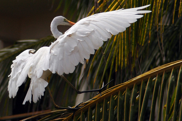 tap dancer :) ♫ great egret from bali♫
