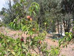 Fruit Trees 003