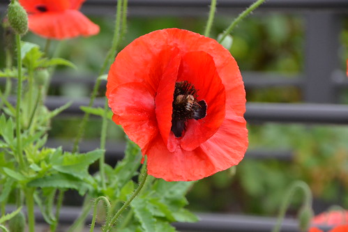 Corn Poppy and Bee