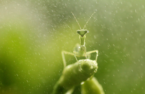 Mantis In Rain..