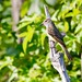 Great Crested Flycatcher by Baltimore Bartender