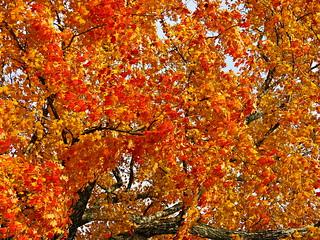 Virginia Autumn Maple