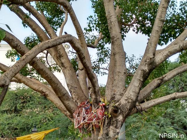 Peepal tree with Prachin Hanuman Mandir
