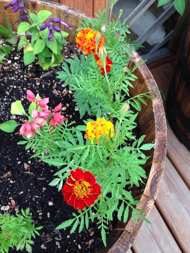 More marigolds from seed