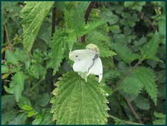 crab spider with catch(small white)