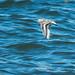 Sanderling (Calidris alba) Sandlöpare
