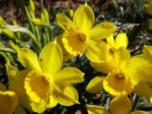 Almesquí o narcís groc ((Narcissus assoanus)