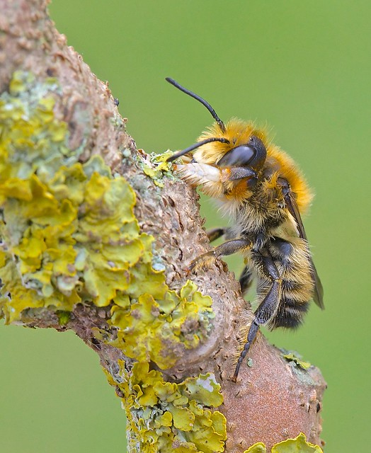 Willughby's Leaf-cutter Bee ( Megachile willughbiella )