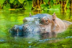 Hippopotamus, San Diego Zoo