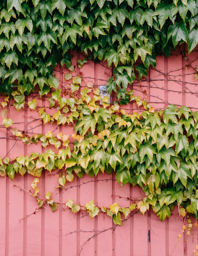 ivy on pink garage