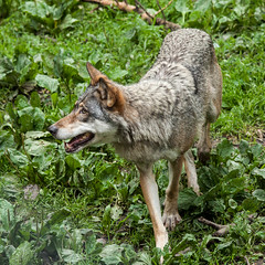 jackal(0.0), kit fox(0.0), animal(1.0), canis lupus tundrarum(1.0), czechoslovakian wolfdog(1.0), gray wolf(1.0), red wolf(1.0), mammal(1.0), grey fox(1.0), fauna(1.0), wolfdog(1.0), saarloos wolfdog(1.0), coyote(1.0), wildlife(1.0),