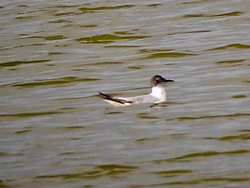 bird gull kingscounty littlegull hydrocoloeusminutus kentaveponds