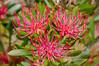 Tasmanian Waratah by Rob Reaburn Photography