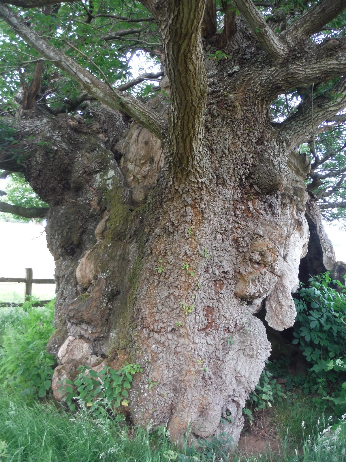 1000 year old Queen Elizabeth Oak SWC Walk 217 Midhurst Way: Arundel to Midhurst