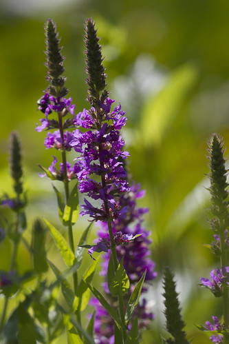 IMG_5249-Purple Loosestrife