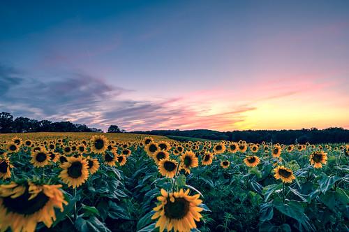 flowers sunset sky plants field wisconsin clouds outdoor farm grow sunflowers sunflower fields flowering blooming middleton popefarmconservancy