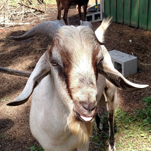 A close up of a male goat's face, mostly white but with black horns and a black nose and dramatic mahogany brown stripes running from his horns, across his eyes, to the corners of his mouth. He has a short but luxurious beard and he's sticking his tongue out.