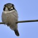 Surnia ulula ● hökuggla ● northern hawk owl. by camilla.billberg