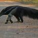 Giant Anteater (Jon Isaac)