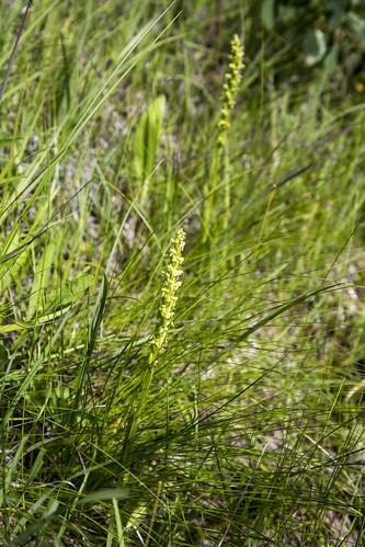 canada orchid flower manitoba platantheraaquilonis northerngreenbogorchid stuartburn manitobatallgrassprairiepreserve