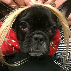 Boya my girl is ugly. #frenchiesofinstagram #frenchbulldog