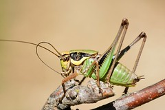 Eupholidoptera chabrieri male - Photo of Sourribes