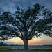 Sunset Burr Oak by Heath Cajandig