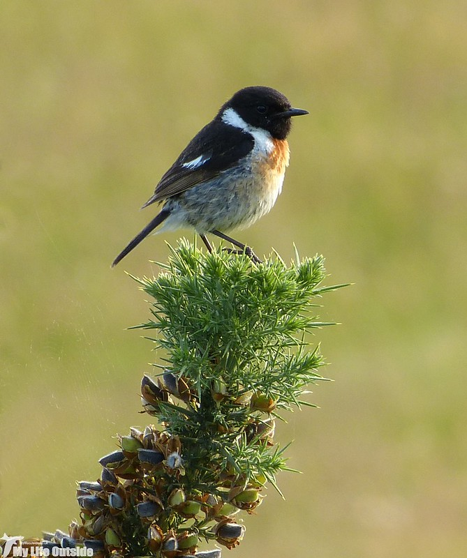 P1130727 - Stonechat, Bryn-bach-Common