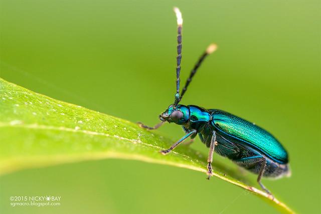 Leaf beetle (Chrysomelidae) - DSC_4982