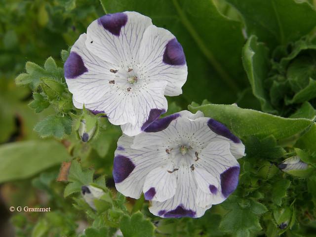 Nemophilia maculata
