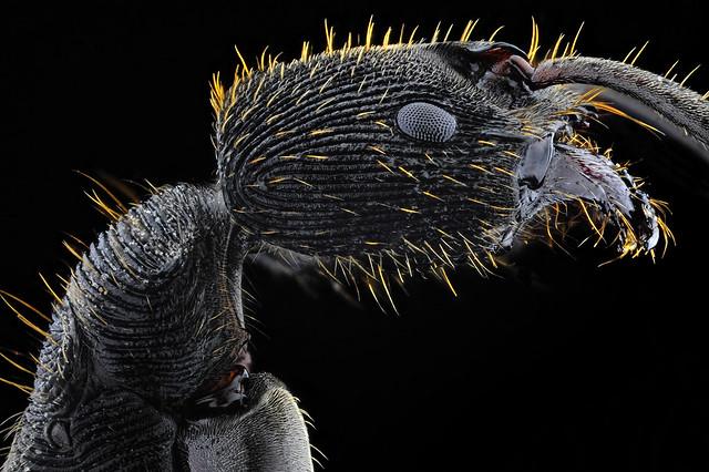 Acorn Ant | Temnothorax sp. (Mayr, 1861)