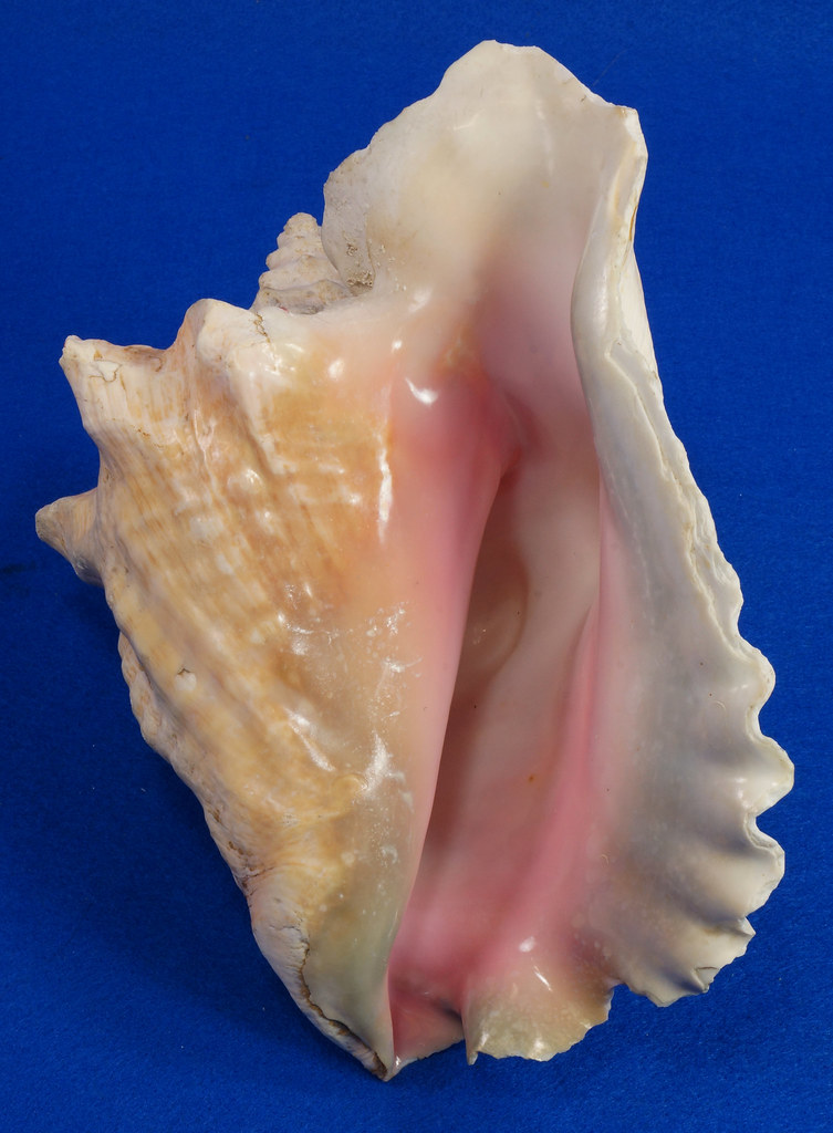 RD14748 Pink Queen Conch Seashell Sea Shell 9.25 inch Long Weight 2.87 Lbs DSC08010