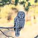 Great gray owl in Canyon area by YellowstoneNPS
