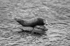 Harbour Seal at Monterey (1 of 1)