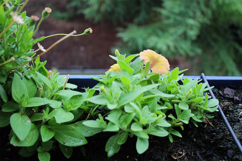 Petunien beginnen wieder zu blühen nach Rückschnitt